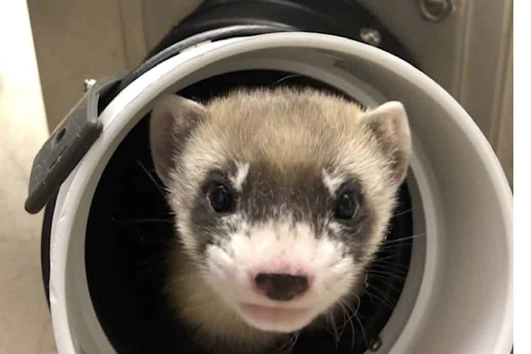 close up image of a brown ferret peaking throght a tube