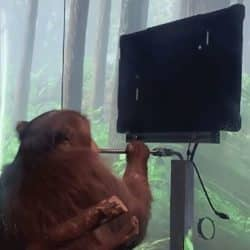 A monkey playing pong on the computer while sucking a smoothie out of a straw in front of a forest backdrop