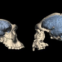 Skulls of early Homo from Georgia with an ape-like brain (left) and from Indonesia with a human-like brain (right).