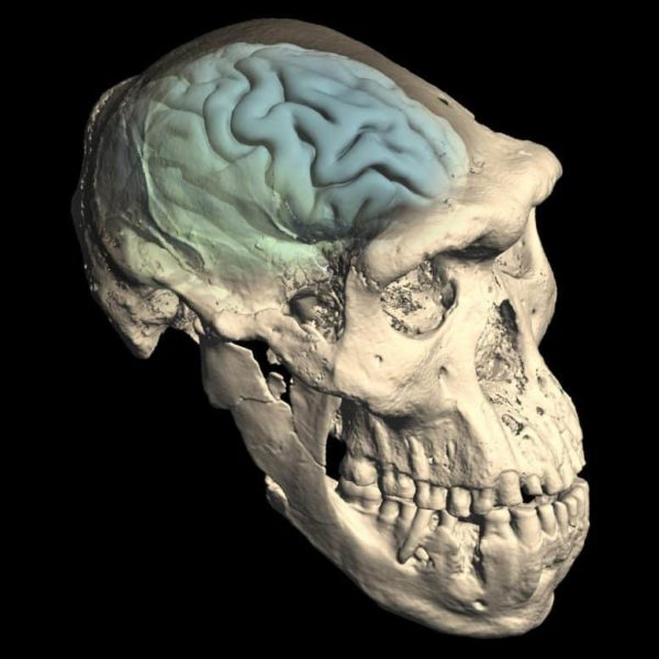 Skull of early Homo from Dmanisi, Georgia showing internal structure of the brain case, and inferred brain morphology.