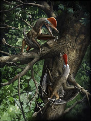 A reconstruction of how the K. antipollicatus used the opposite pollex. She animals are seen with bat-like wings
