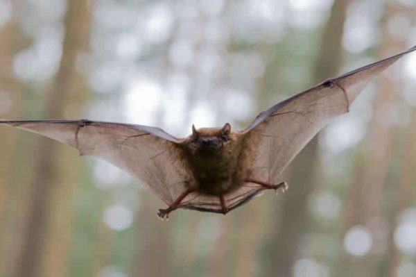 a small bat about a third the size of a mouse, was recaptured, still hale and hearty, 41 years after it was initially banded to check its genetic make up