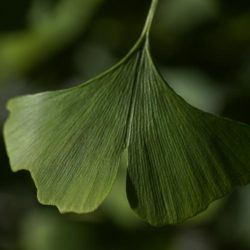 Distinctive fan-shaped ginkgo leaves are seen in the Fossils Atmospheres Project at the Smithsonian Research Center in Edgewater, Md.,